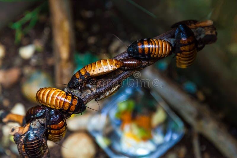 Grandi blatte marrone-rosso del Madagascar fotografie stock libere da diritti