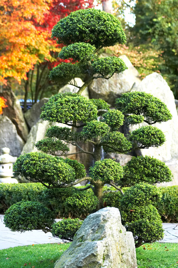 Grandi bonsai immagine stock libera da diritti