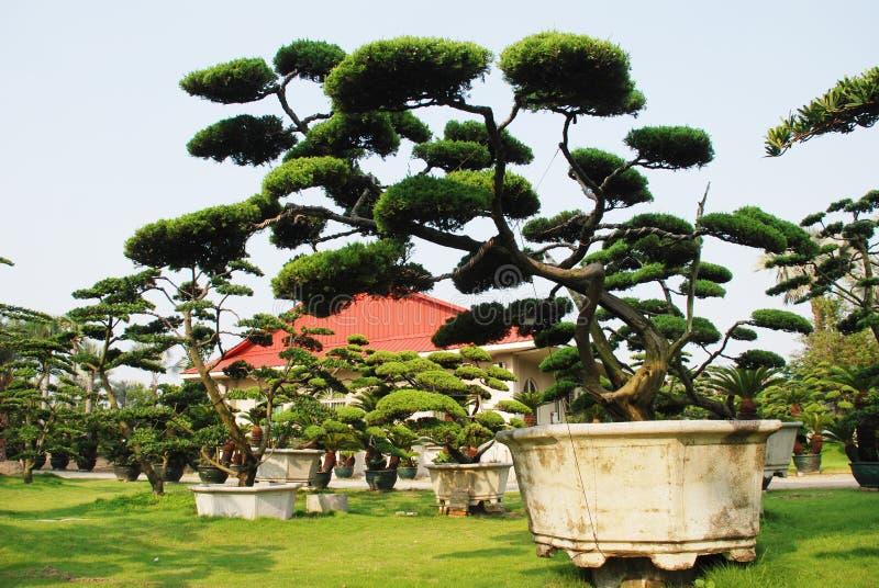 grandi bonsai del pino in un giardino della villa immagine