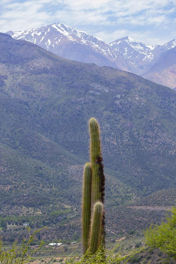 Grandi cactus nelle montagne immagine stock libera da diritti