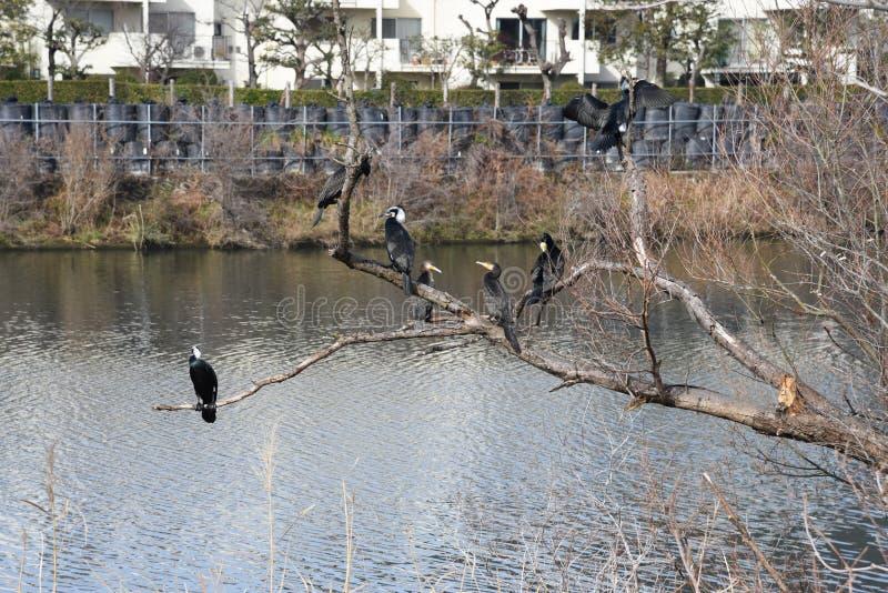 Grandi cormorani fotografie stock