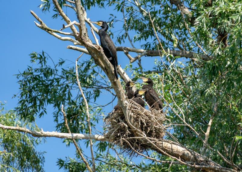 Grandi cormorani al nido sul delta di Danubio immagini stock libere da diritti