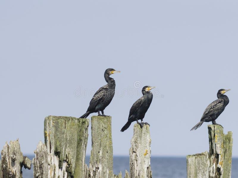 Grandi cormorani, carbo del Phalacrocorax, sedentesi sul vecchio legno, ritratto del primo piano con fondo defocused fotografia stock libera da diritti