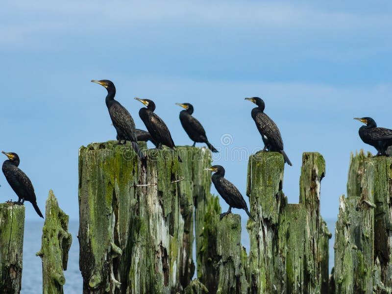 Grandi cormorani, carbo del Phalacrocorax, sedentesi sul vecchio legno, ritratto del primo piano con fondo defocused, fuoco selet fotografia stock libera da diritti
