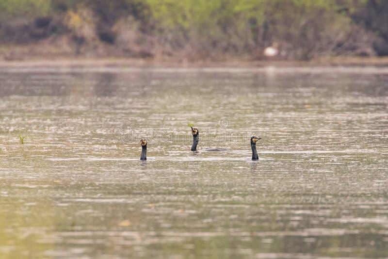 Grandi cormorani che nuotano il carbo del Phalacrocorax del lago fotografia stock