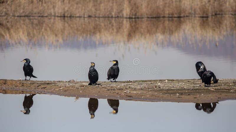 Grandi cormorani, delta di Llobregat fotografie stock libere da diritti
