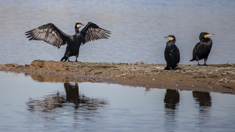 Grandi cormorani immagine stock libera da diritti