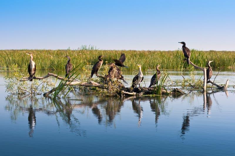 Grandi cormorants neri nel delta del Danubio immagine stock libera da diritti