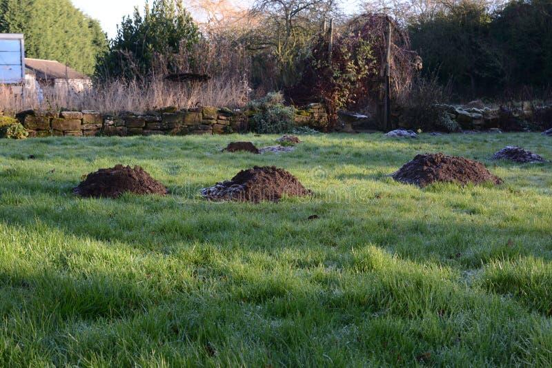 Grandi cumuli di terra sollevati dalla talpa in un prato inglese non tagliato fotografie stock