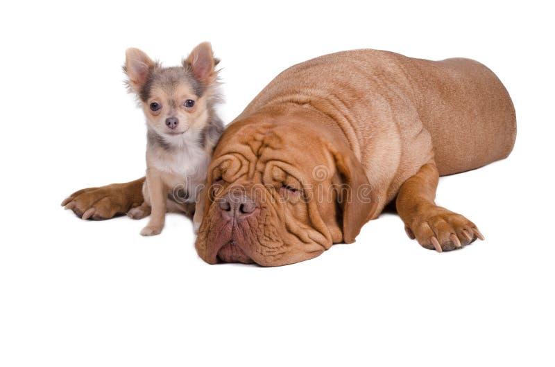 Grandi e piccoli amici dei cani fotografia stock libera da diritti