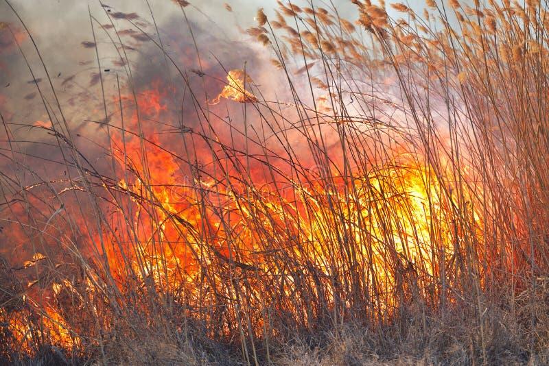 Grandi fiamme sul campo durante il fuoco Disastro accidentale immagini stock