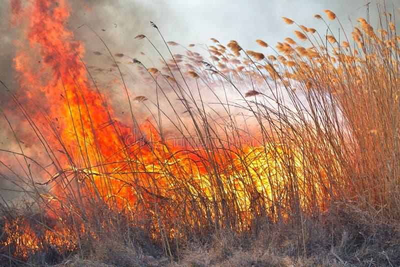 Grandi fiamme sul campo durante il fuoco Disastro accidentale fotografia stock