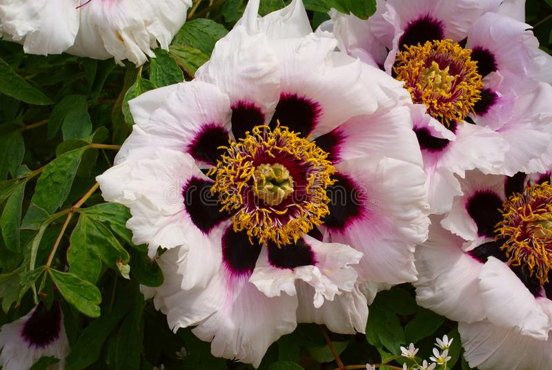 Grandi fiori della peonia dell'albero fotografie stock libere da diritti