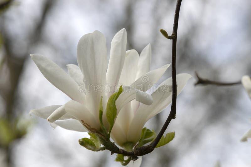 Grandi Fiori Di Magnolia Su Un Albero Ad Amsterdam, Paesi Bassi fotografia stock