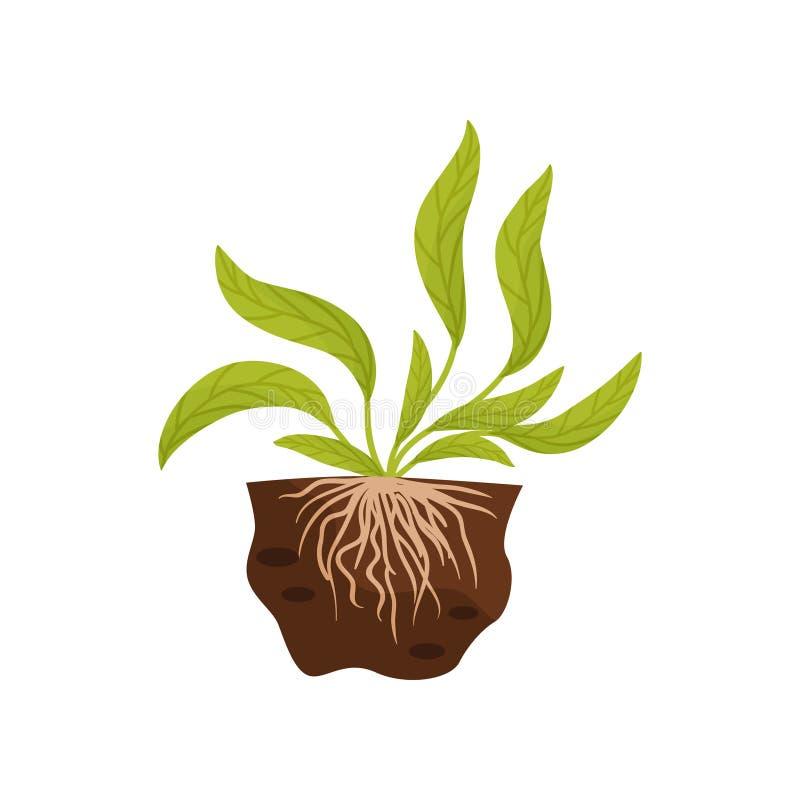 Grandi foglie con le vene Il sistema della radice nel suolo Illustrazione di vettore illustrazione di stock
