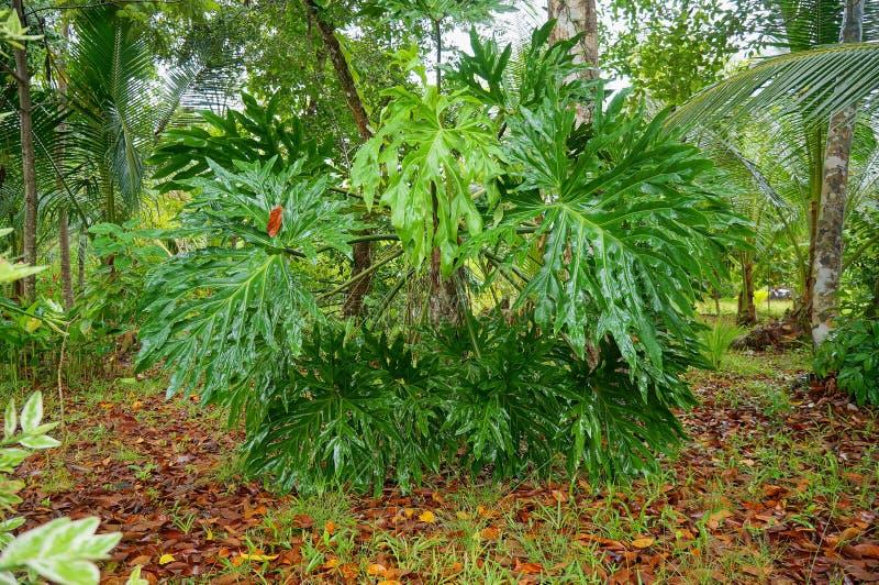 Grandi foglie del philodendron di pizzo dell'albero fotografia stock