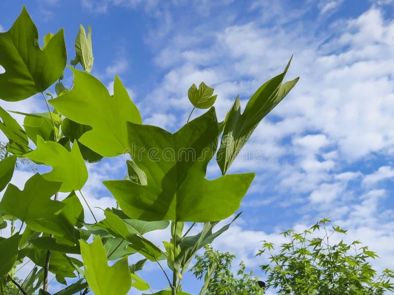 Grandi foglie di un albero di tulipano contro un cielo blu con le nuvole fotografia stock libera da diritti