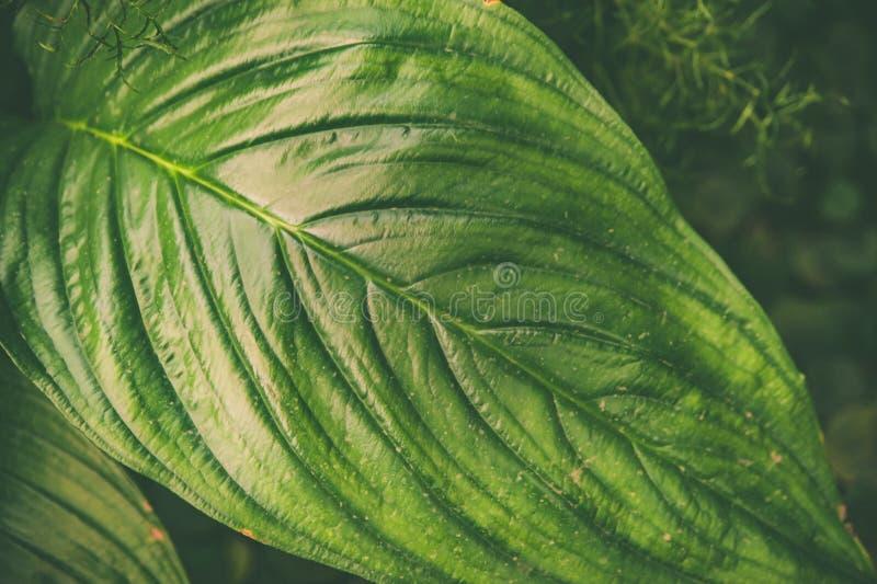 Grandi foglie tropicali verdi fondo, struttura Alla moda tinto ecologico fotografia stock libera da diritti