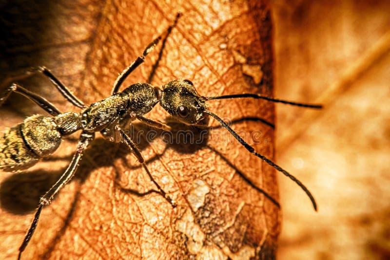Grandi formiche del legno sulla vista di macro della foglia fotografia stock