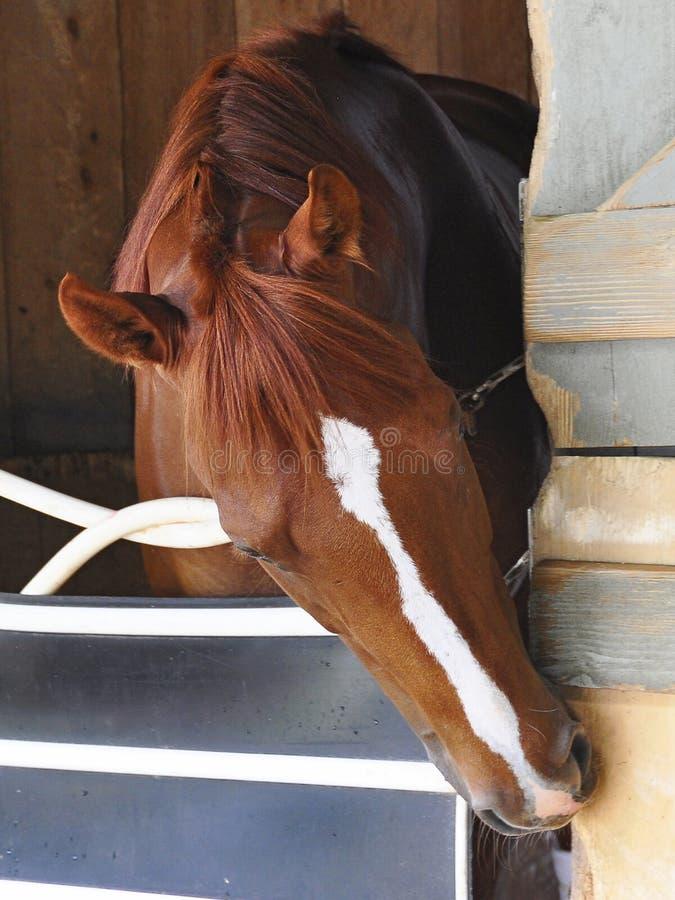 Grandi foto di corsa di cavalli da Fleetphoto immagine stock
