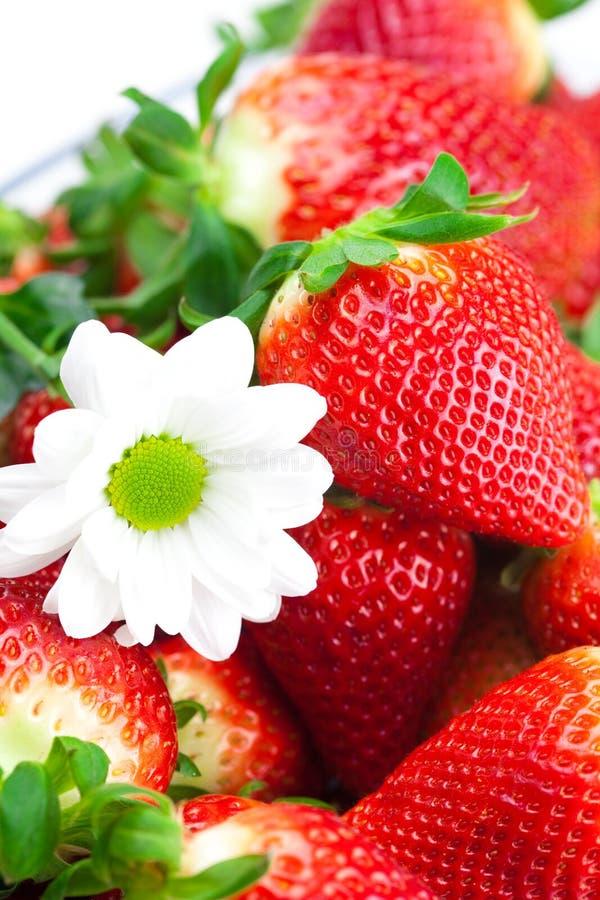 Grandi fragole e fiore maturi sugosi rossi fotografia stock
