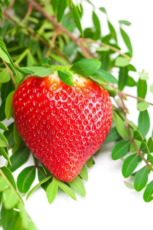 Grandi fragole mature rosse sugose, erba immagini stock