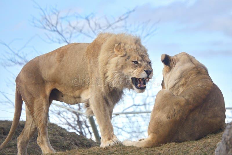 Grandi gatti selvaggi immagini stock