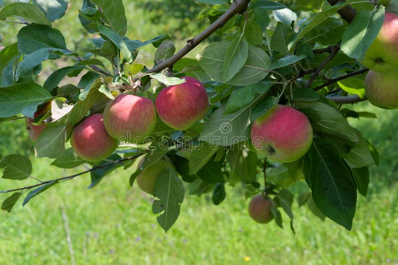 Grandi mele rosse su un ramo fotografia stock