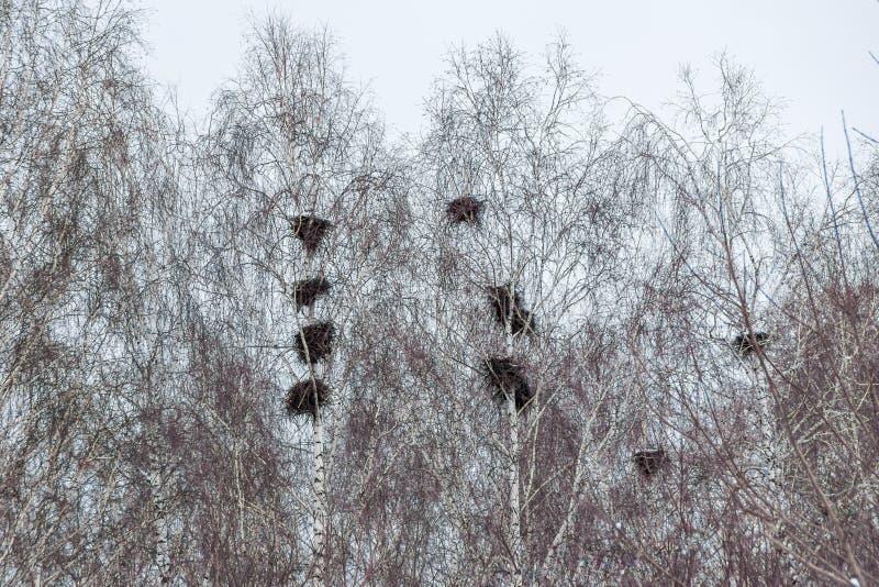 Grandi nidi di corvi sugli alberi in molla in anticipo immagine stock