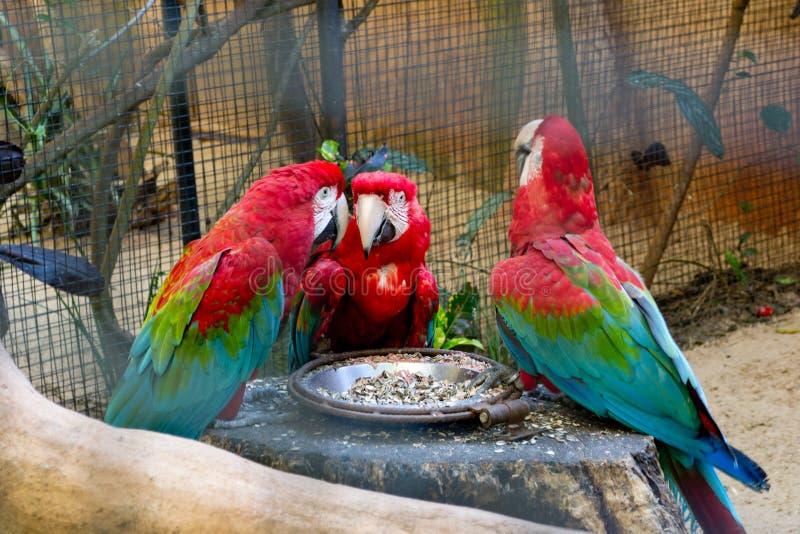 Grandi pappagalli parlanti rossi dell'ara in zoo immagini stock libere da diritti
