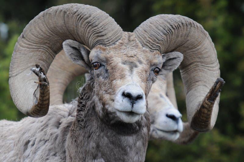 Grandi pecore del corno fotografia stock libera da diritti