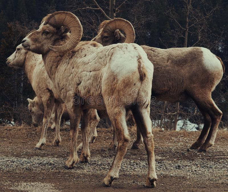 Grandi pecore del corno immagini stock
