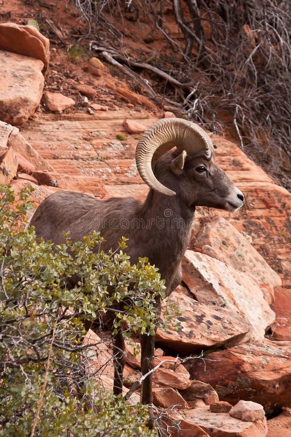 Grandi pecore della ram del corno del deserto fotografia stock libera da diritti