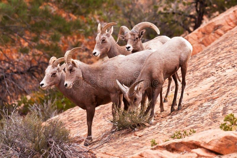 Grandi pecore sentite parlare del corno del deserto immagini stock