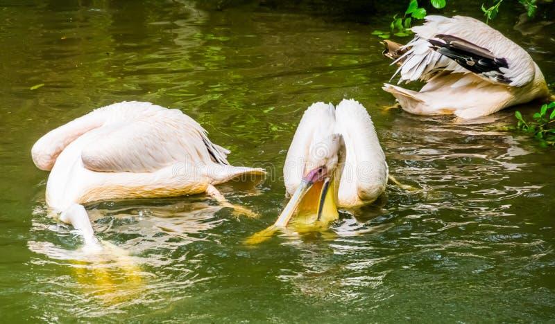 Grandi pellicani bianchi che cercano insieme per il pesce nell'acqua, comportamento tipico del pellicano, specie comune dell'ucce fotografie stock