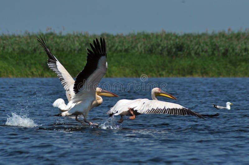 Grandi pellicani bianchi nel delta di Danubio fotografia stock