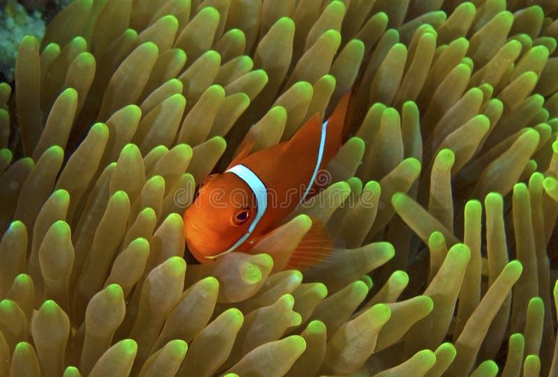 Grandi pesci del pagliaccio della scogliera di barriera (nemo) immagine stock libera da diritti