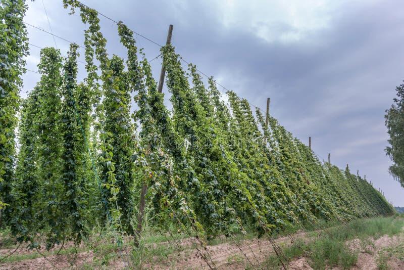 Grandi piante del luppolo in un'iarda del luppolo sviluppata per l'ingrediente di produzione della birra fotografie stock libere da diritti