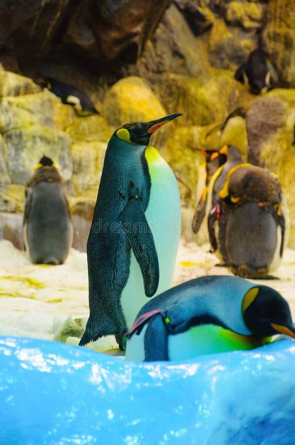 Grandi pinguini di re in Loro Parque, Tenerife, isole Canarie immagine stock libera da diritti