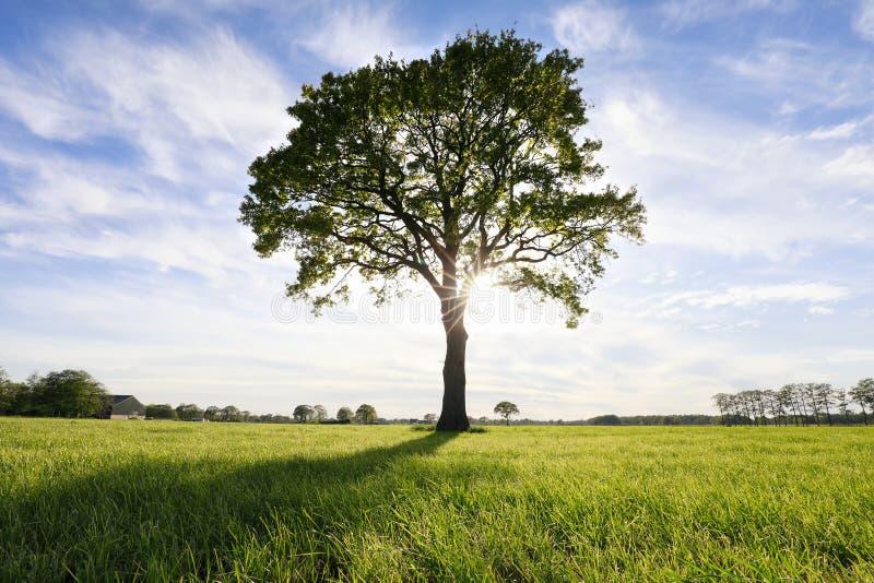 Grandi quercia e sole fotografia stock libera da diritti