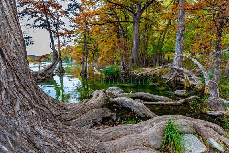 Grandi radici Gnarly degli alberi di Cypress di Garner State Park, il Texas fotografia stock
