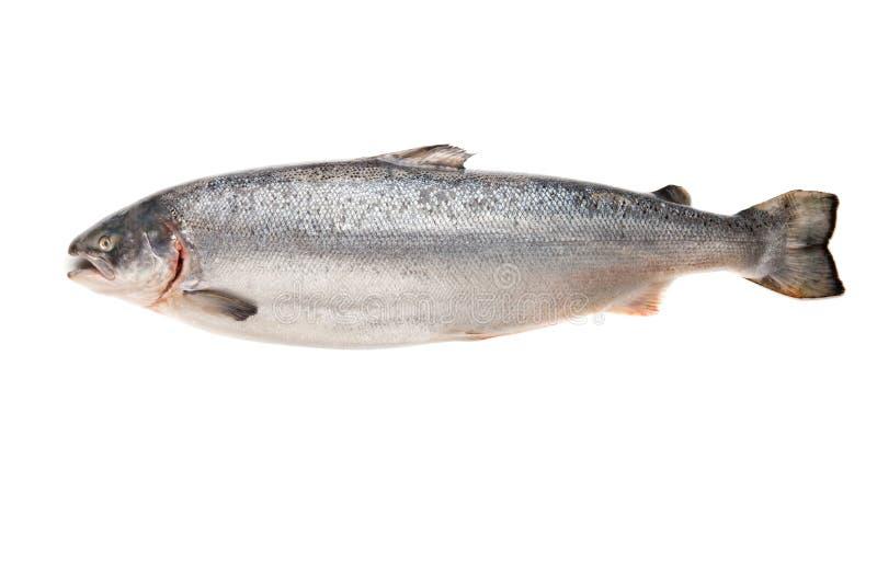 Grandi salmoni freschi fotografia stock