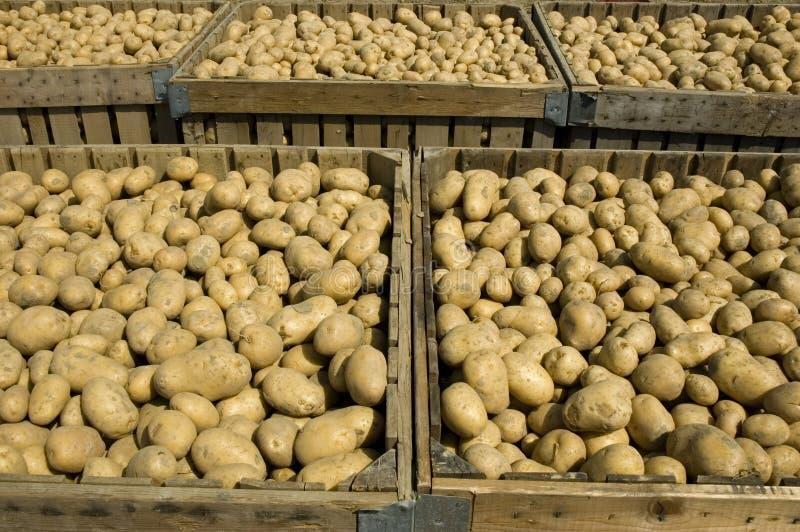Grandi scomparti in pieno delle patate immagine stock libera da diritti