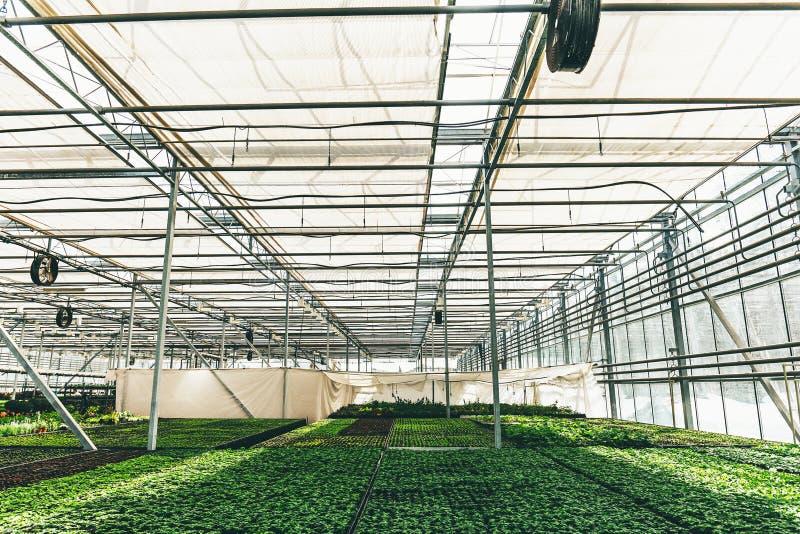 Grandi semi moderni della serra o della serra, di coltivazione e di crescita delle piante ornamentali, scuola materna del fiore d immagine stock