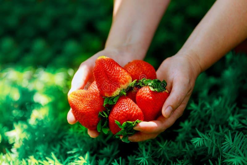Grandi stawberries in mani della donna s sul fondo dell'erba verde fotografia stock