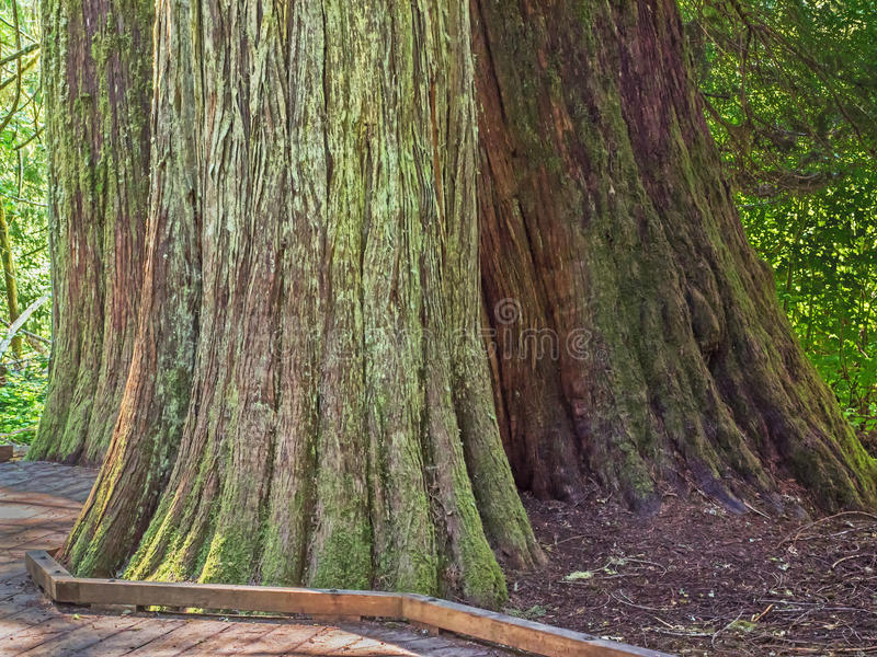 Grandi tronchi di albero coperti di muschio e di lichene fotografia stock