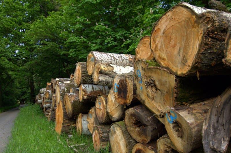 Grandi tronchi di albero in mezzo alla foresta fotografia stock libera da diritti