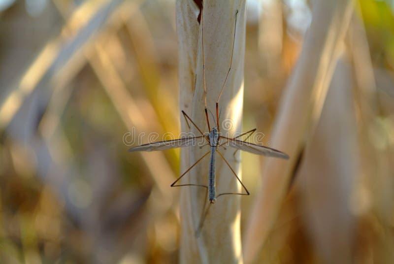 Grandi zanzare. fotografia stock libera da diritti