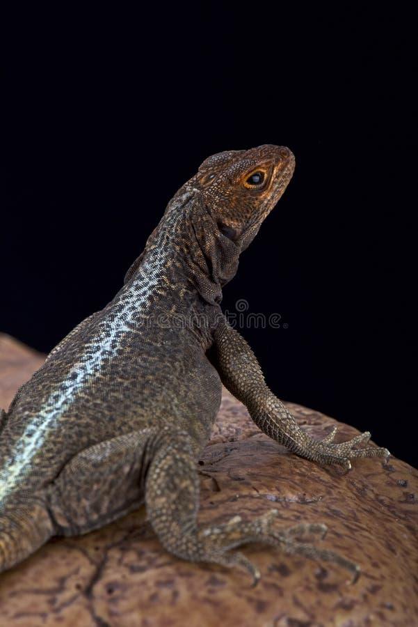 Free Grandidier S Iguana (Oplurus Grandidieri) Stock Photo - 60637120