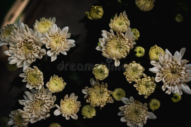 Grandifflora di Dendranthemum immagini stock libere da diritti